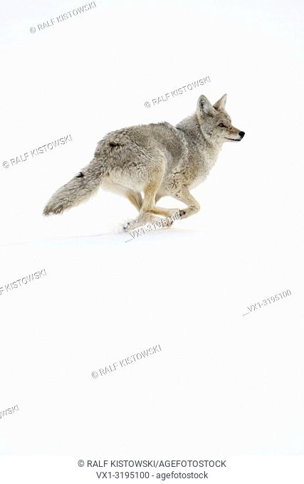 Coyote (Canis latrans) on the run, in winter, running, fleeing through high snow, Yellowstone NP, USA.