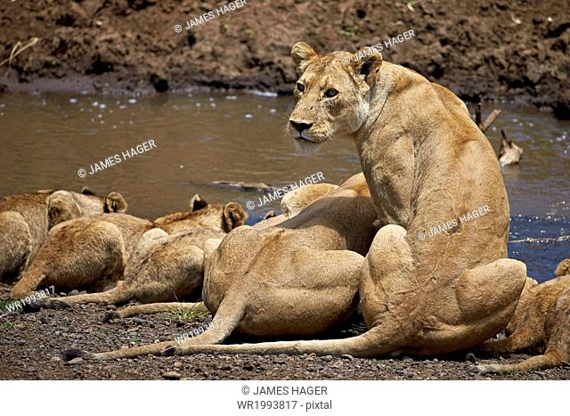 Lions (Panthera Leo) drinking, lionesses and cubs, Ngorongoro Crater, Tanzania, East Africa, Africa