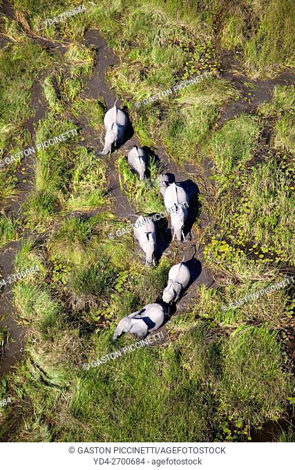 African Elephants (Loxodonta africana), in the freshwater marsh, aerial view, Okavango Delta, Botswana. The Okavango Delta is home to a rich array of wildlife