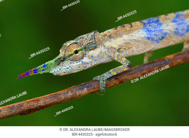 Close-up long-nosed chameleon (Calumma gallus) on branch, male, Vohimana, Eastern Madagascar, Madagascar