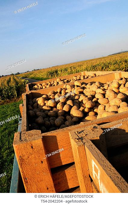 Freshly dug potatoes in wooden boxes on potato field
