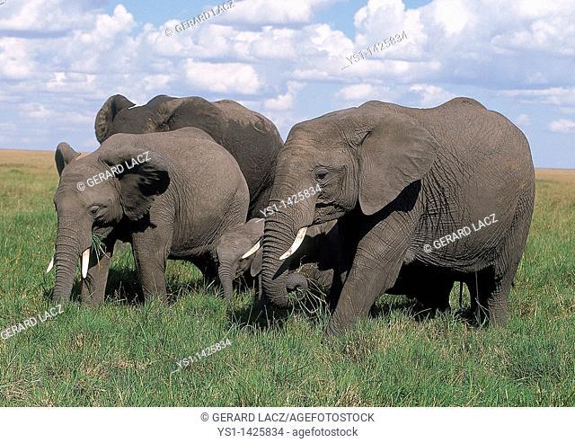 AFRICAN ELEPHANT loxodonta africana, GROUP EATING IN SWAMP, MASAI MARA PARK, KENYA