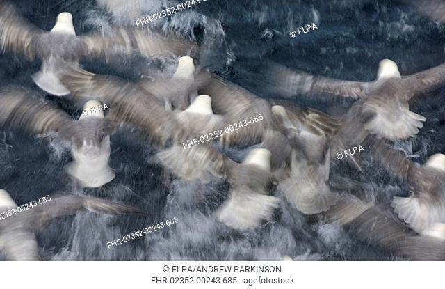 Northern Fulmar Fulmaris glacialis adults, group feeding at sea, taking off from water, blurred movement, Shetland Islands, Scotland, july