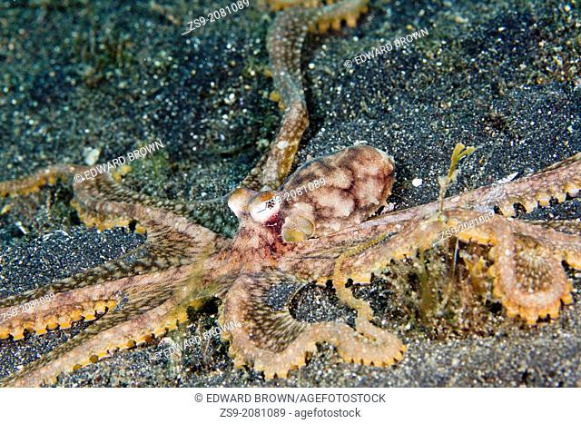 Long arm octopus, Lembeh Strait, Indonesia