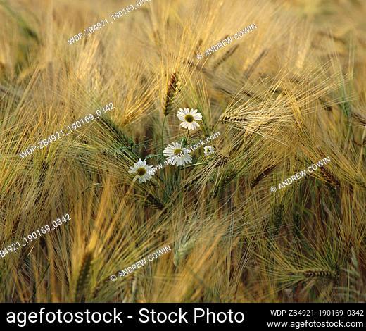 Wild Flowers & Corn Field