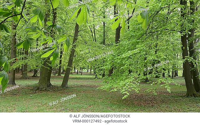 Beech forest in Swinoujscie, Poland
