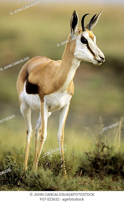 Impala (Aepyceros melampus). South Africa. Medium-size gazelle-like antelope. Distribution in south and southeastern Africa