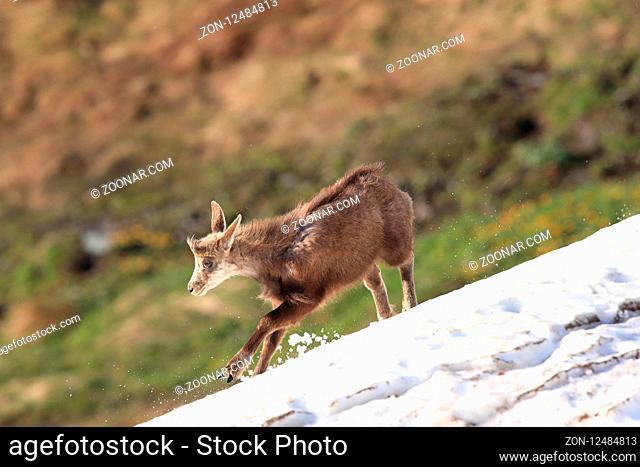 Chamois (Rupicapra rupicapra) Vosges Mountains, France