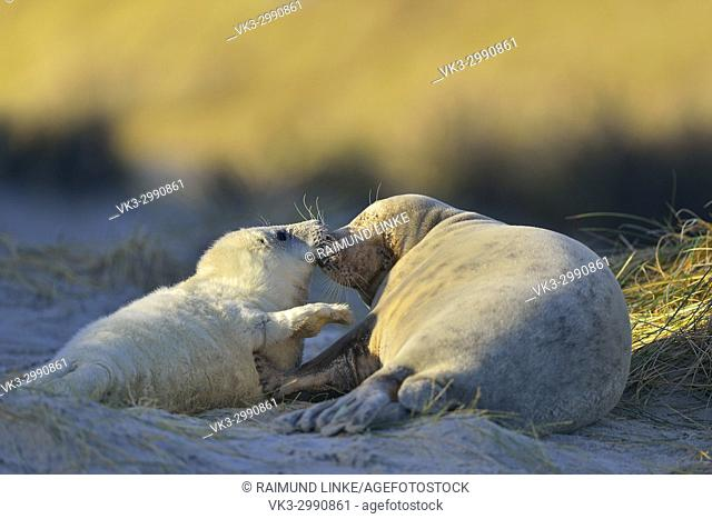 Grey Seal, Halichoerus grypus, Female wih Pup, Helgoland, Dune, North Sea, Island, Schleswig-Holstein, Germany