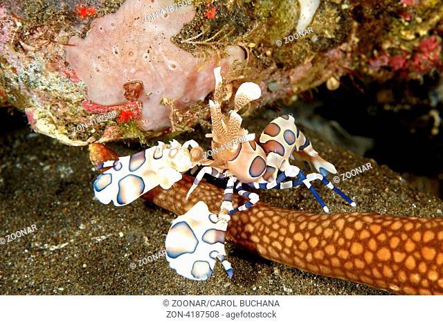 A Harlequin Shrimp, Hymenocera picta, stands on the arm of itsstarfish food, Tulamben, Bali, Indonesia. Bali Sea, Indian Ocean