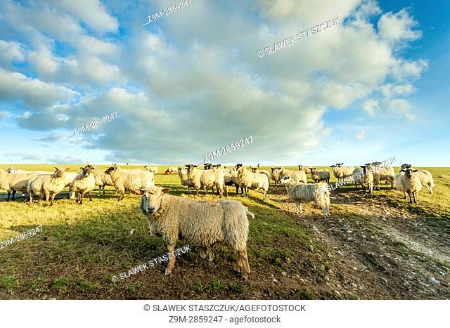 Sheep in South Downs National Park near Brighton, East Sussex, England