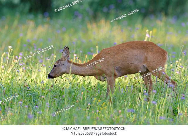 Western Roe Deer (Capreolus capreolus) in Meadow, Hesse, Germany, Europe