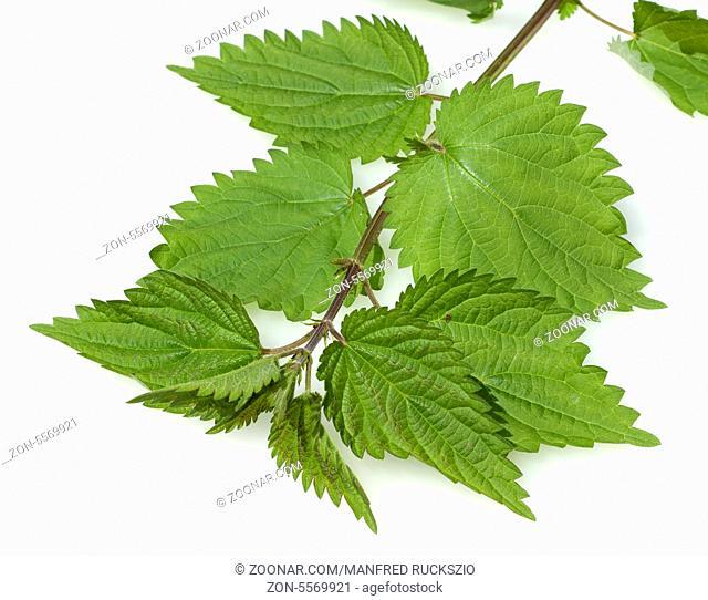 Grosse Brennnessel, Urtica Dioica, Heilpflanzen
