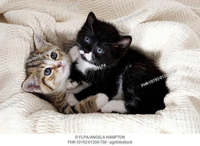Domestic Cat, tabby-and-white and black-and-white kitten, laying together on blanket, England