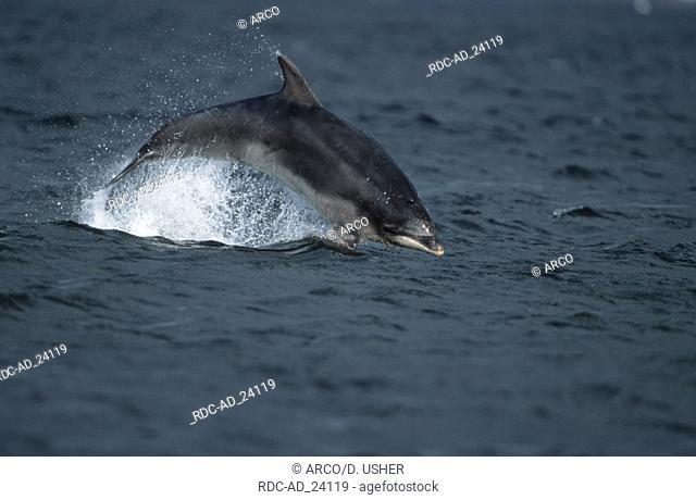 Bottlenose Dolphin Moray-Firth Scottland Tursiops truncatus