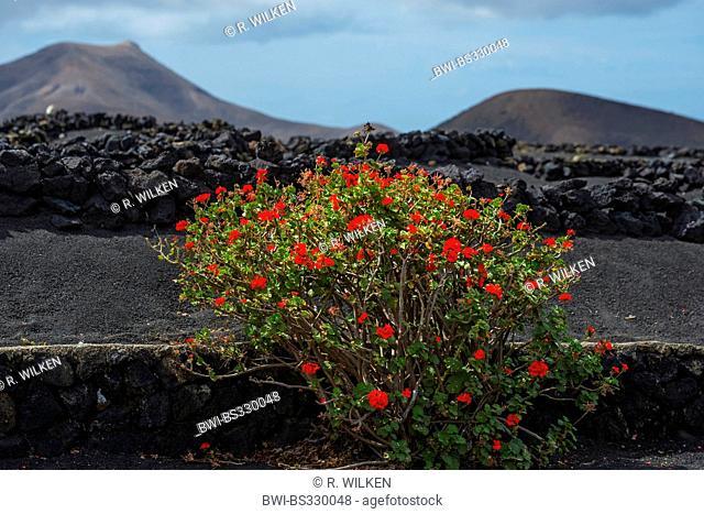 geranium (Pelargonium spec.), growing at a low volcanic rock wall in the wine-growing area La Geria, Canary Islands, Lanzarote
