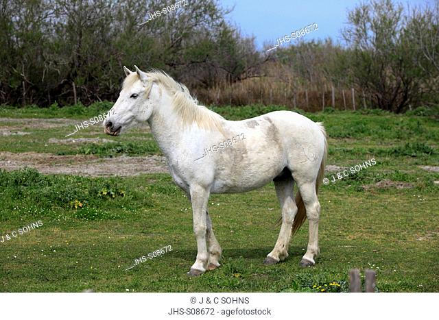 Camargue Horse,Equus caballus,Saintes Marie de la Mer,France,Europe,Camargue,Bouches du Rhone,mare in meadow