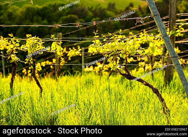 Crops of grape plants cultivated for wine. Spring time in Austrian vineyards. South Styria tourist spot, wine country places to see