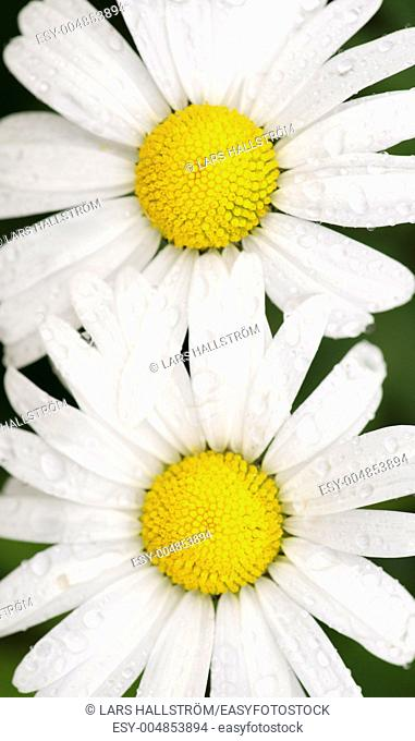 Pair of yellow and white flowers covered with water droplets