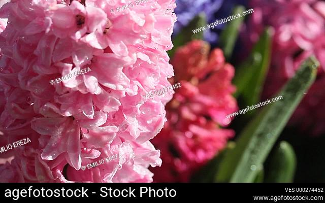 Hyacinths and droplets