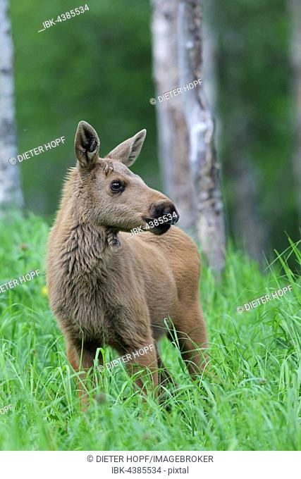 Elk (Alces alces), calf in tall grass, Lapland, Norway
