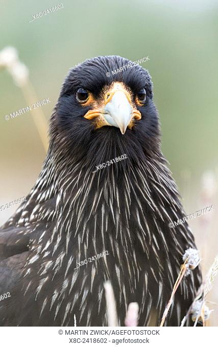 Striated Caracara (Phalcoboenus australis) or Johnny Rook, considered as very intelligent and curious, one of the rarest birds of prey in the world