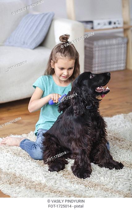 Girl brushing Cocker Spaniel hair in living room at home
