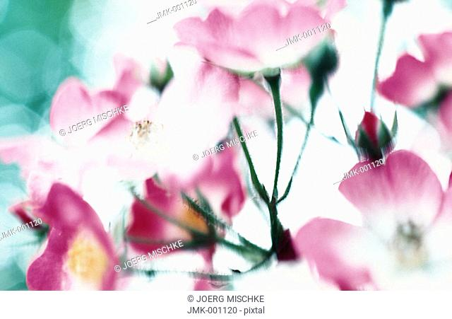 Pink roses in a garden, backlight, blurred