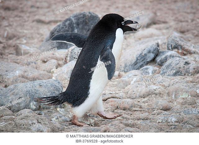 Adélie Penguin (Pygoscelis adeliae), carrying a stone in its beak for building a nest, Paulet Island, Antarctic Peninsula, Antarctica