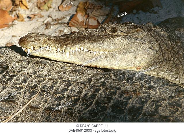 American alligator (Alligator mississippiensis), Alligatoridae. Everglades National Park (UNESCO World Heritage List, 1979), Florida, United States