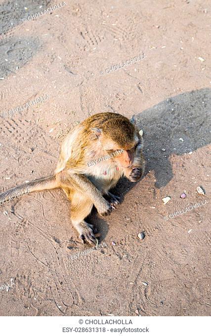 close up thai monkey in Triple Crown Castle,Phraphrangsamyod temple,Lopburi,Thailand