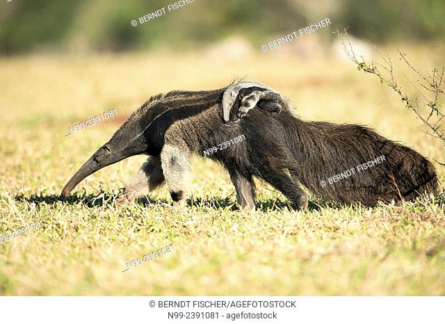 Giant anteater (Myrmecophaga tridactyla), female with cub on its back, walking in farmland, Mato Grosso do Sul, Brazil