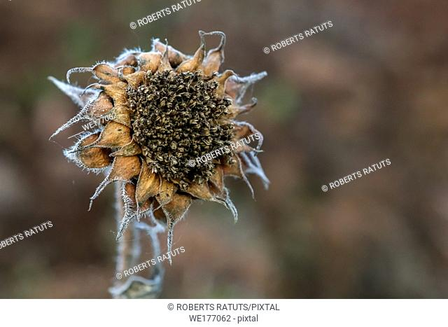 Background with deflorate sunflower. Sunflower in autumn day. Withered sunflower. Frozen sunflower on gray field in Latvia