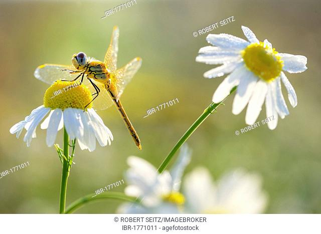 Darter (Sympetrum) on chamomile flower (Matricaria recutita)