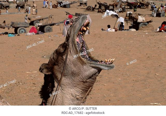 Two-humped Camel yawning Rajasthan India Camelus bactrianus Bactrian Camel