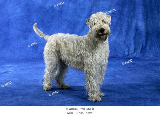 Irish, Soft, Coated, Wheaten, Terrier