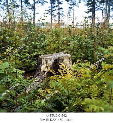 Stump in fern plants growing in lush forest