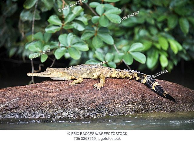 False gharial (Tomistoma schlegelii) resting on a rock, Mpassa river, Batéké Plateau National Park, Gabon