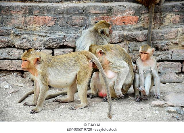 Monkeys playing at Phra Prang Samyod in Lopburi, Thailand