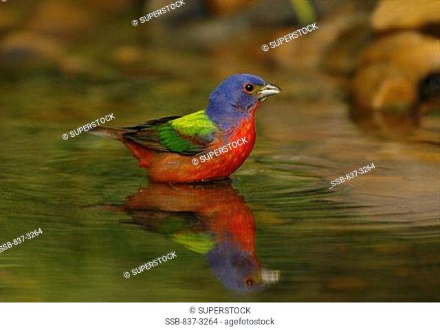 Reflection of Painted bunting Passerina ciris bathing in water