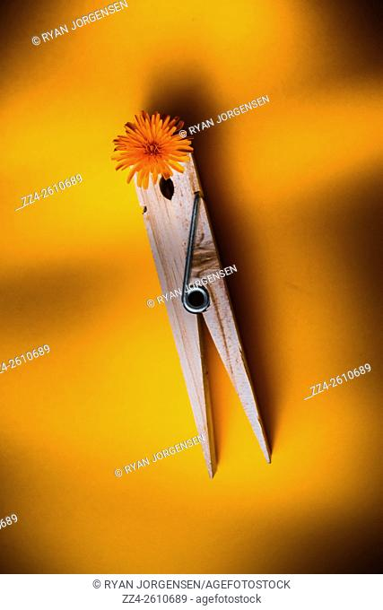 Top down vertical still life view on a wooden laundry peg gripping springtime flower. Spring cleaning