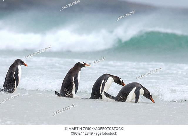 "Gentoo Penguin (Pygoscelis papua) on the Falkland Islands, walking into the surf and """"testing"""" the water, a typical behaviour"