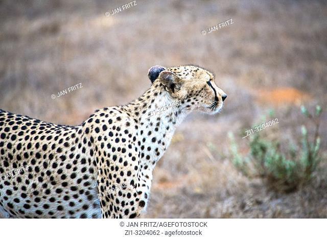 cheetah in Tsavo East Wildpark, Kenya