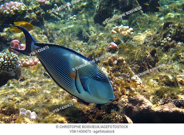 Egypt, Marsa Alam region, Red Sea, Coral reef, Sohal surgeon fish Acanthurus Sohal