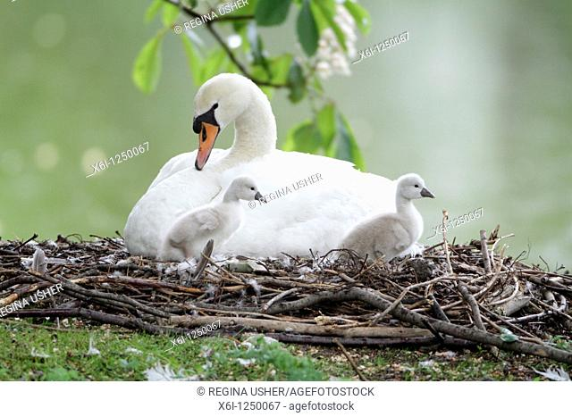 Mute Swan Cygnus olor, parent bird at nest with two cygnets, Germany