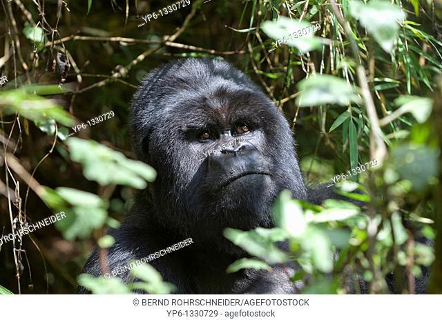 Mountain Gorilla, Gorilla beringei beringei, portrait of a silverback in vegetation, Volcanoes National Park, Rwanda