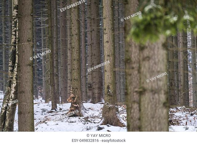 Trees in a dense forest in winter, Karkonosze National Park, Poland