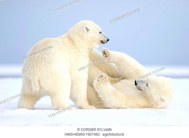 United States, Alaska, Arctic National Wildlife Refuge, Kaktovik, Polar Bear (Ursus maritimus), mother with one cub playing together