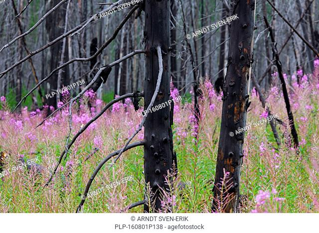 Fireweed / great willowherb (Chamerion angustifolium) thrives in forest among charred tree trunks after wildfire, Kootenay National Park, British Columbia