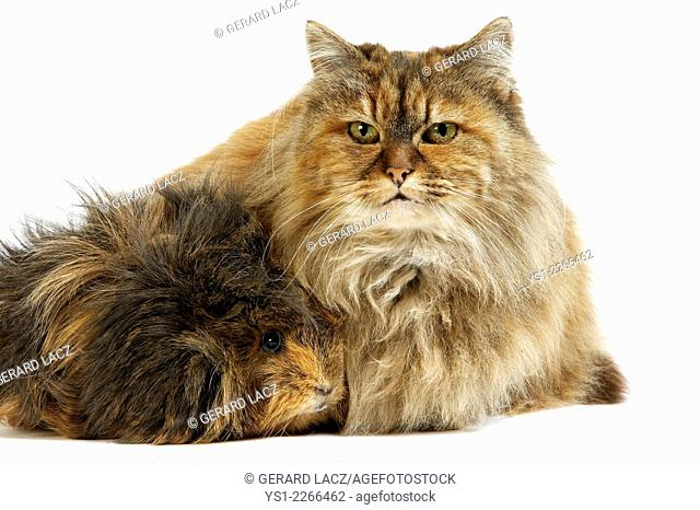 Tortoisehell Persian Domestic Cat and Long Hai Guinea Pig